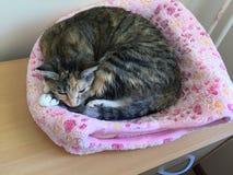 平纹龟甲小猫 库存照片