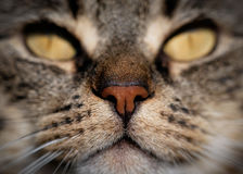 平纹Cat& x27; s口鼻部 免版税库存图片