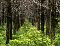 平行的森林 免版税库存照片