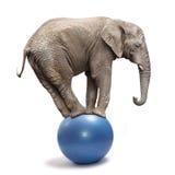 平衡在一个蓝色球的大象。 库存图片