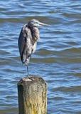 平衡在一行程的伟大蓝色的苍鹭的巢 库存照片