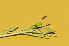 平衡在枝杈的鸡尾酒蚂蚁 库存图片