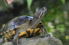 平衡在狂放的一个岩石的被绘的乌龟 库存图片