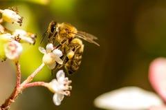 平衡在花顶部的蜂蜜蜂 免版税库存图片