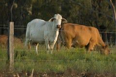 平衡日落的牛 免版税库存图片