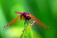 平衡的蜻蜓 免版税库存图片
