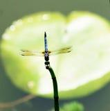平衡蜻蜓 免版税库存照片