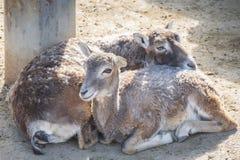 平静地休息两欧洲的mouflons,羊属Musimon 免版税库存照片