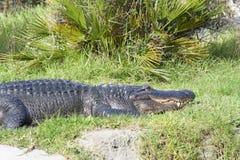 平静地休息在草的鳄鱼在运河旁边 免版税图库摄影