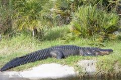 平静地休息在草的鳄鱼 图库摄影