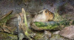 平静地休息的水豚 库存图片