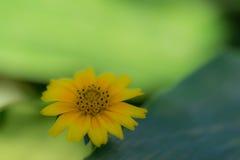 平静的黄色花 库存照片