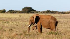 平静-非洲人布什大象 图库摄影