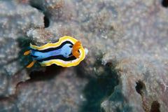 平面的nudibranch船蛀 免版税图库摄影
