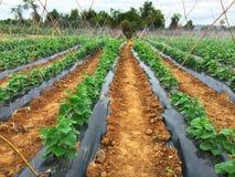 水平黄瓜的农场- 库存图片