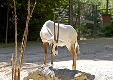 平直的有角的羚羊 免版税图库摄影