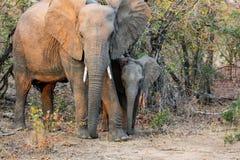 2009年婴孩被采取的大象照片 库存照片