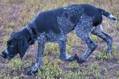2018年年狗 猎犬品种德国硬毛的尖 免版税库存照片