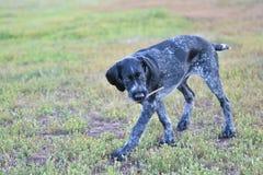 2018年年狗 猎犬品种德国硬毛的尖 免版税库存图片