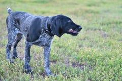 2018年年狗 猎犬品种德国硬毛的尖 库存照片