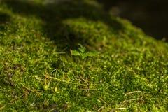 年幼植物在绿色青苔增长在森林里 库存照片