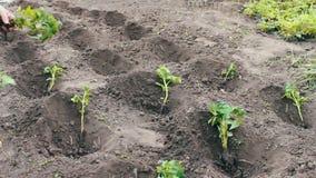 年幼植物蕃茄妇女在地面投入发现并且浇灌了 股票视频