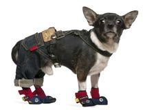 年的1个奇瓦瓦狗穿戴的老身分 库存图片