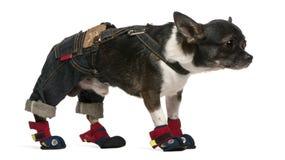 年的1个奇瓦瓦狗穿戴的老身分 库存照片