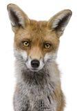 年的1个接近的狐狸headshot老红色 免版税库存图片