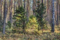 年轻云杉在杉木森林里 免版税库存图片