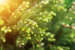 年轻云杉的树 免版税库存照片
