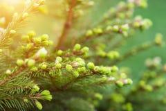 年轻云杉的树 库存图片