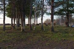 年轻人乞求鹿小组在森林里在日落 库存照片