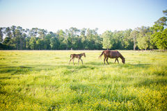 年轻人产驹并且照顾马 免版税库存照片