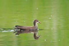年轻人共同的雌红松鸡, Gallinula chloropus水鸟 免版税库存图片