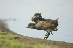 年轻人共同的雌红松鸡, Gallinula chloropus 免版税库存图片