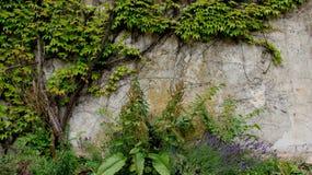 年轻人叶子用淡紫色和老墙壁 免版税库存照片