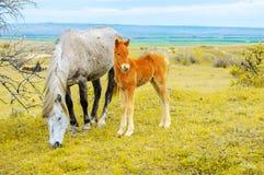 年轻人在与她的母亲马的领域产驹 免版税图库摄影