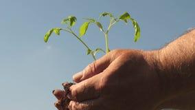 年轻人在农夫的手上发芽 花匠手拿着在他们的棕榈的绿色幼木反对天空 ?? 股票视频
