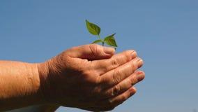 年轻人在农夫的手上发芽 花匠的手拿着在他们的棕榈的绿色幼木反对天空 股票录像