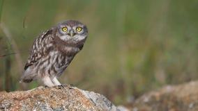 年轻人小猫头鹰雅典娜小猫头鹰在石头,看看站立照相机,蹲下并且震动 股票视频