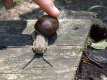 年轻人抚摸了与他的手指的蜗牛 免版税库存图片