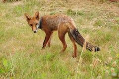 年轻人狐狸崽慎重地践踏 库存照片