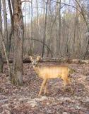 年轻人獐鹿在秋天木头花费 库存图片