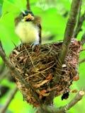 年轻人的白发Parrotbill爱生活 免版税图库摄影