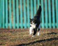 年轻人被察觉的美丽的猫在晴朗的春天路迅速出逃我 免版税库存图片
