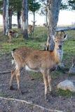年轻人被察觉的鹿紧密  图库摄影
