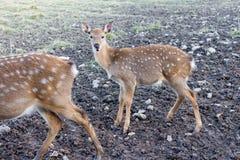年轻人被察觉的鹿紧密  库存图片
