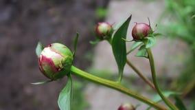 年轻人解扣了在庭院里增长的牡丹芽 影视素材