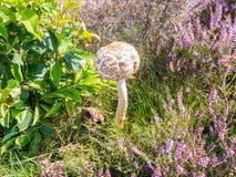 年轻伞菌, Macrolepiota procera,与球状盖帽 图库摄影
